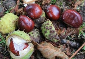 Kastanien liegen im Herbst zu Hauf am Boden - im Wald wie in Städten